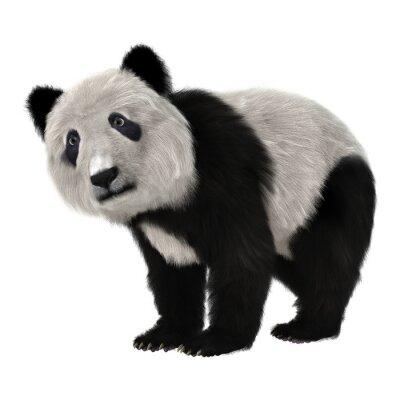 Fototapeta Panda Bear Cub