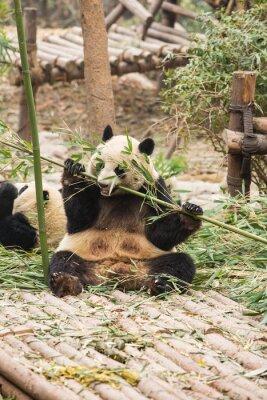 Fototapeta Panda Bear eatting bambusa