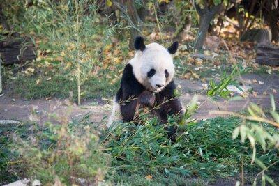 Fototapeta Panda che mangia