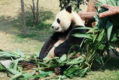 Fototapeta Panda eating bamboo