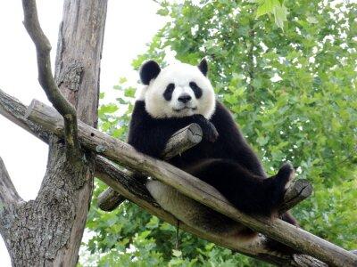 Fototapeta Panda Geant 2