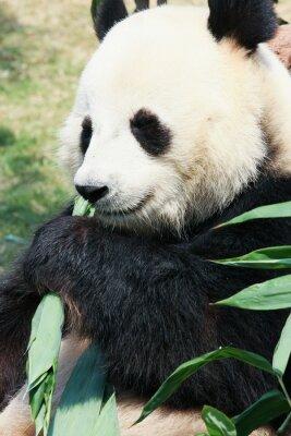 Fototapeta Panda jedzenie bambusa