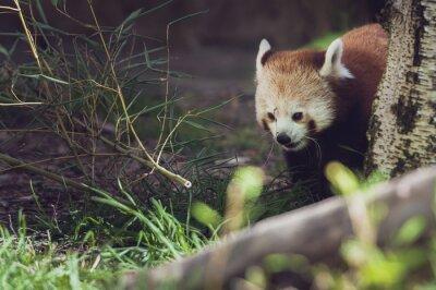 Fototapeta Panda roux