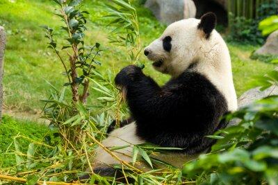 Fototapeta Panda Wielka jedzenie bambusa