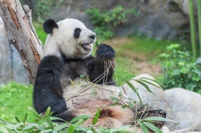 Fototapeta Panda Wielka opatrzone jedzenie bambusa liścia