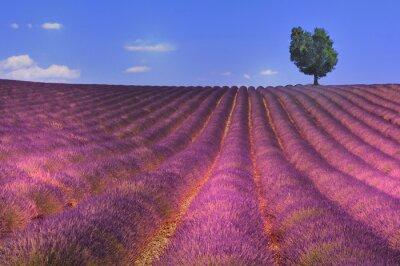 Fototapeta panorama d 'un champs de lavande avec arbre perdu