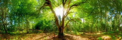 Fototapeta panorama Las z sun - Przerwa sunbeams Treetop
