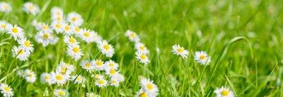 Fototapeta panoramic meadow with daisies at springtime