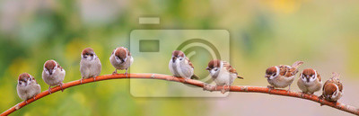Fototapeta panoramic photo with a flock of funny birds and Chicks sparrows sit on a branch in a summer Sunny garden and chirp