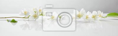 Fototapeta panoramic shot of jasmine flowers on white surface