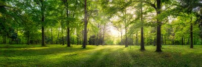Fototapeta Panoramic view of a forest with sunlight shining through the trees