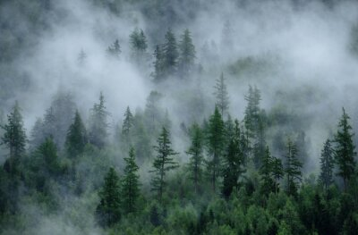 Fototapeta Panoramic view of misty forest. Foggy forest in a gloomy landscape