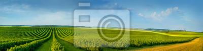 Fototapeta Panoramica widok ofcolorful pola i rzędy porzeczek krzak sadzonki jako kompozycja tła