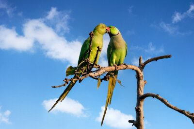 Fototapeta Papugi w Indiach