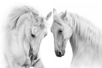 Fototapeta Para biały koń na białym tle