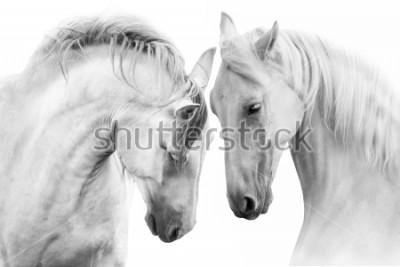 Fototapeta Para piękniejszych koni na białym tle. Obraz wysokiej kluczowych