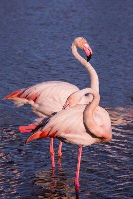 Fototapeta Para różowych flamingów w parku Camargue