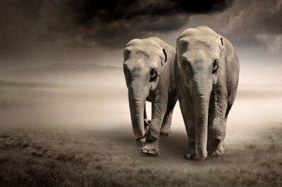 Fototapeta Para słoni w ruchu