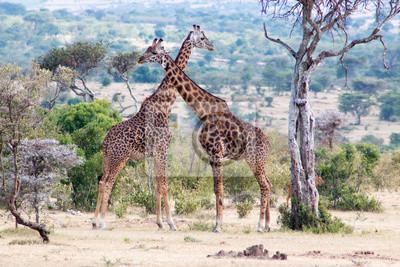 Fototapeta Para żyrafy w parku narodowym w Kenja, Afryka.
