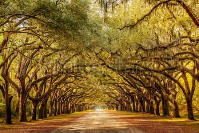 Fototapeta Park Wormsloe, aleja dębu życia, Savannah