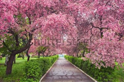 Fototapeta Park z alejką kwitnących czerwonych jabłoni. Wiosenny krajobraz