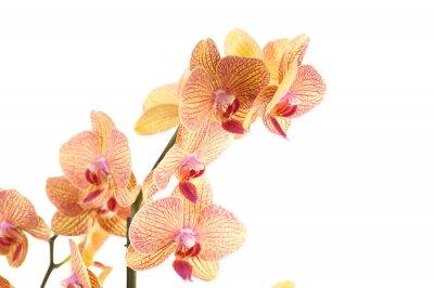 Fototapeta particolare di Ramo di orchidea
