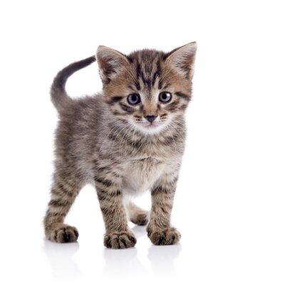 Fototapeta Paski kitten