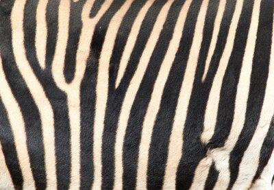 Fototapeta paski na skórze zebry