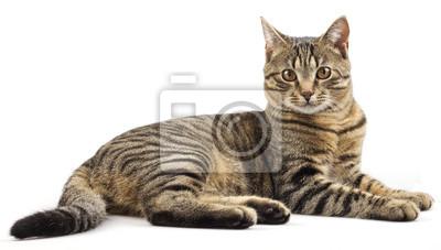 Fototapeta Paski rasowy kot