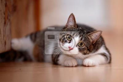 Fototapeta Paski z białym kotem.