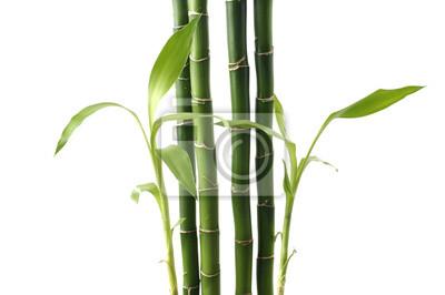 Pędy bambusa na białym tle