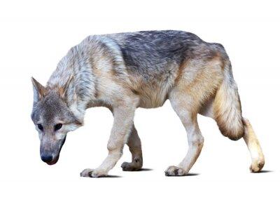 Fototapeta pełna długość wilka