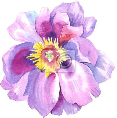 Peony kwiat pączek w akwareli. Może być używany do: tło, plakat, drukuj, romantyczny zaproszenia, dekoracje, podobieństw lub wzoru.