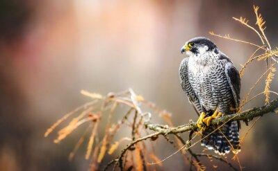 Fototapeta Peregrine falcon on branch. Bird of prey falconry male portrait, Falco peregrinus