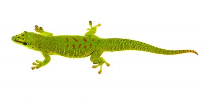 Fototapeta Phelsuma madagascariensis - gecko isolated on white