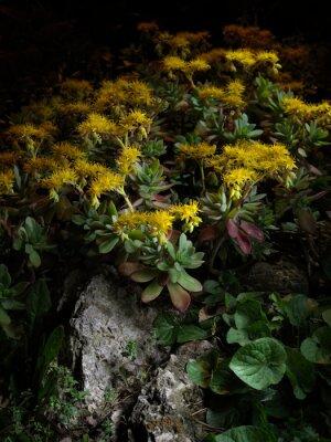 Fototapeta Pianta grassa con fiori gialli su roccia