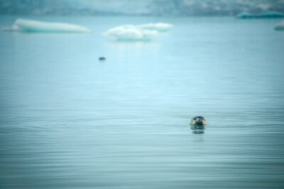 Pieczęć, jezioro, Islandia