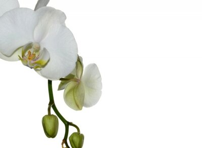 Fototapeta Piękna biała orchidea na białym tle