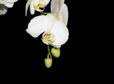 Fototapeta Piękna biała orchidea wyizolowanych na czarnym tle