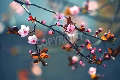 Fototapeta Piękna kwitnąca wiśnia japońska - Sakura. Tło z kwiatów na dzień wiosny.