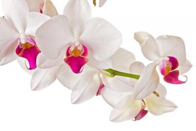 Fototapeta Piękna orchidea na białym tle
