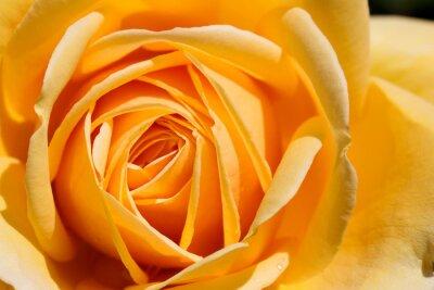 Fototapeta piękna żółta róża z bliska