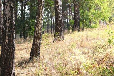 Fototapeta Piękne brzozy w lesie na początku jesieni