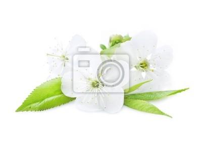 Piękne Cherry Blossom nad białym