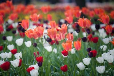 Fototapeta Piękne czerwone i białe kwiaty tulipanów w ogrodzie z niewyraźne tło, Keukenhof, Holandia