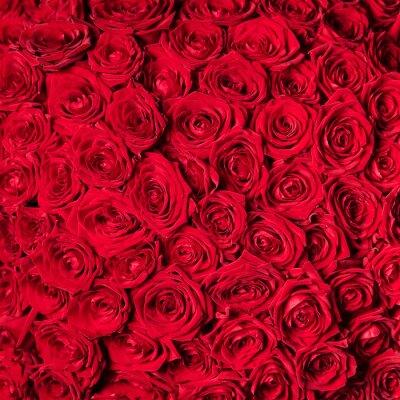 Fototapeta piękne czerwone róże
