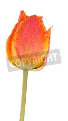 Fototapeta piękne czerwono-pomarańczowy jasny wiosna przetargu tulipan kwiat na zielonej łodydze na białym tle