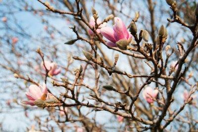 Fototapeta piękne drzewa magnolii w rozkwicie na wiosnę