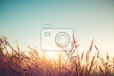Fototapeta Piękne jesienią sezonu tła - dzikiej trawy z słońca i błękitne niebo jesienią.