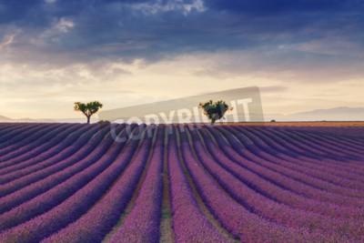 Fototapeta Piękne kolory purpurowe pola lawendy w pobliżu Valensole, Prowansja we Francji